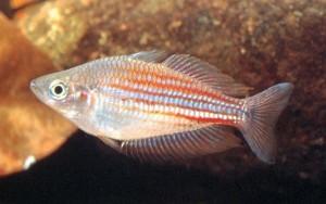 M. utcheensis