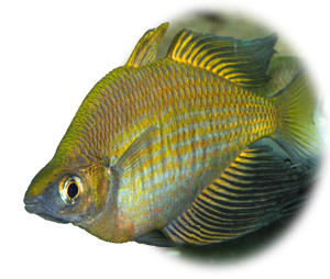 Lake Wanam Rainbowfish