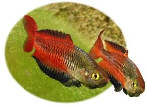 R. ornatus
