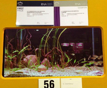 "Ambassis agassizii display. Winner of the ""Australasian Native Fish: Any Other Variety"" class (essentially native non-rainbow fish) and champion of the Australasian Native Fish category."