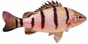 Banded or Barred Grunter, Amniataba percoides. Image: NSW DPI